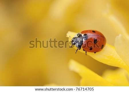 Ladybird on yellow flower of forsythia. - stock photo