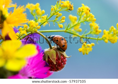Ladybird, strawberries and yellow flowers on a blue background. - stock photo