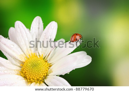 Ladybud sitting on chamomile flower on green background - stock photo