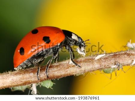 Ladybug and aphids, macro photo - stock photo