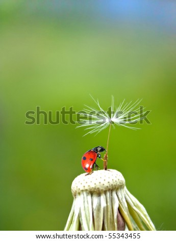 Ladybug and  dandelion - stock photo