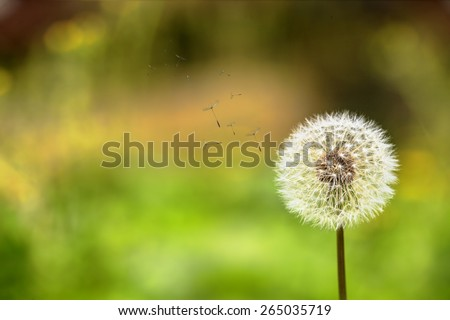 Ladybug and dandelion for adv or others purpose use - stock photo