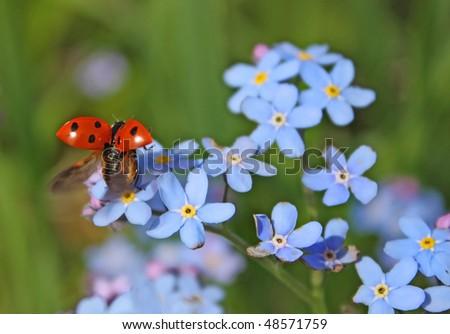 ladybug. Blue flower - stock photo