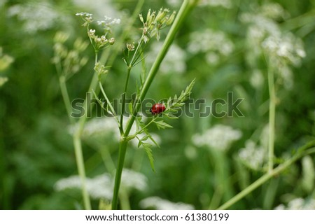ladybug climbing a green helm in spring - stock photo