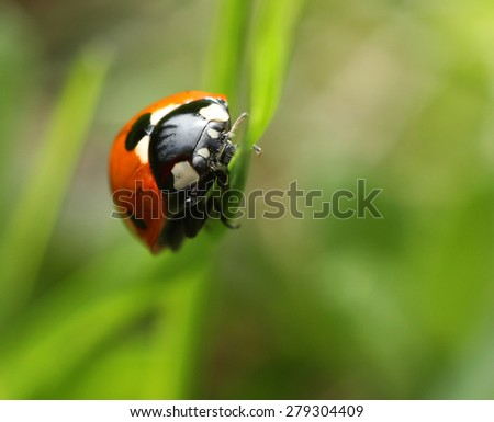 Ladybug climbing on green grass blade closeup macro - stock photo