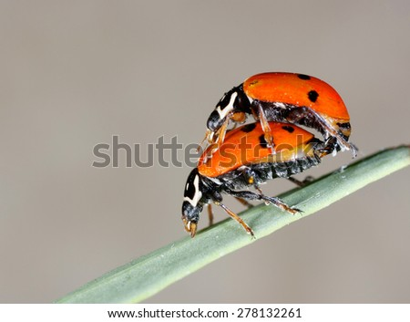 ladybug couple - stock photo