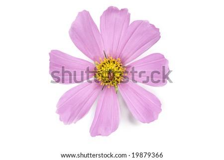 Ladybug (Hippodamia convergens) and Cosmos flower. - stock photo