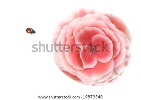 Ladybug (Hippodamia convergens) and Pink Begonia flower - stock photo
