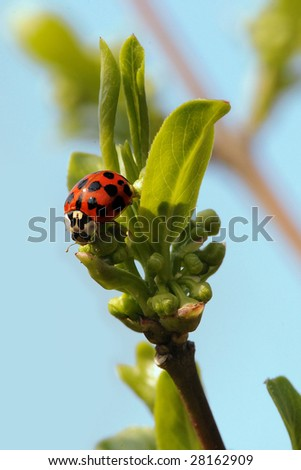 ladybug in spring - stock photo