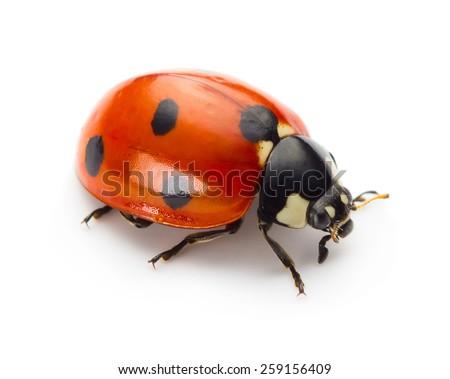 Ladybug insect isolated on white background - stock photo