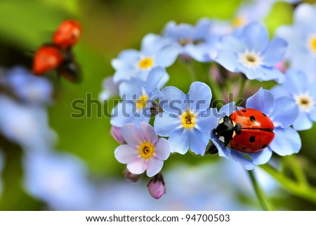 ladybug, ladybird on forget me not flowers - stock photo