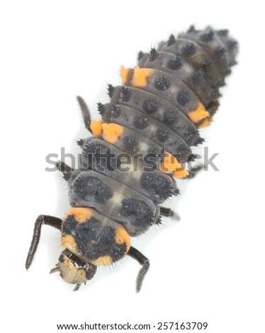 Ladybug larva, Coccinella septempunctata isolated on white background - stock photo