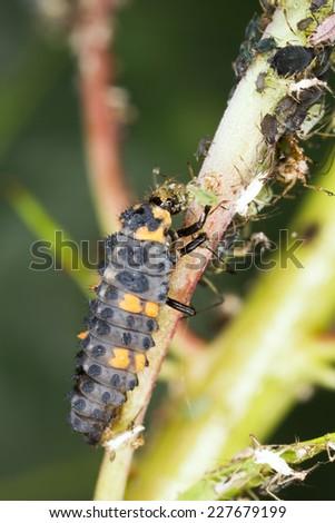 Ladybug larva, Coccinella septempunctata predator on aphids  - stock photo