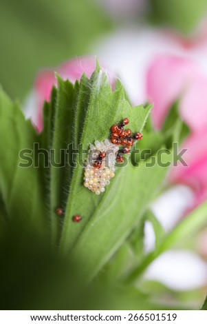 Ladybug larvae and eggs of the shell on the leaf - stock photo