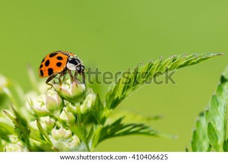 Ladybug, macro, asian - stock photo
