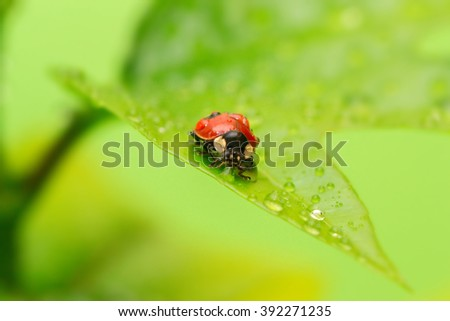 Ladybug on a green leaf in the grass, close-up ladybug. Ladybug with water drops. - stock photo