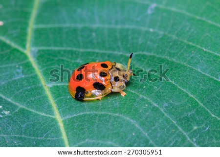 Ladybug on a green leaf. Red bug on the grass - stock photo