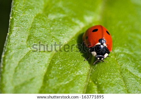 Ladybug on a green leave