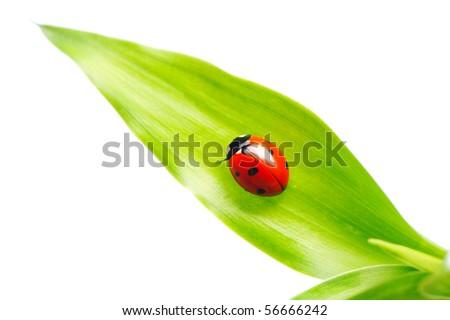 Ladybug on a leaf over white - stock photo