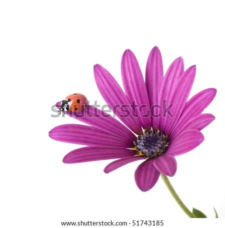 ladybug on a pink flower isolated on white - stock photo