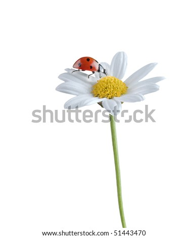 ladybug on a white flower isolated on white - stock photo