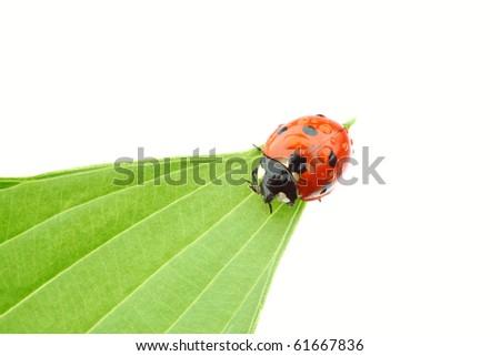 ladybug on big green leaf - stock photo