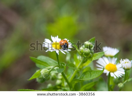 Ladybug on chamomile flower after summer rain