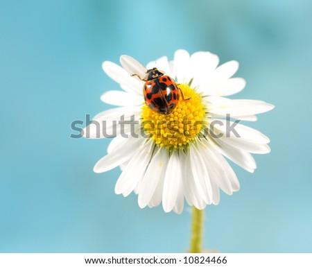ladybug on daisy, blue background - stock photo