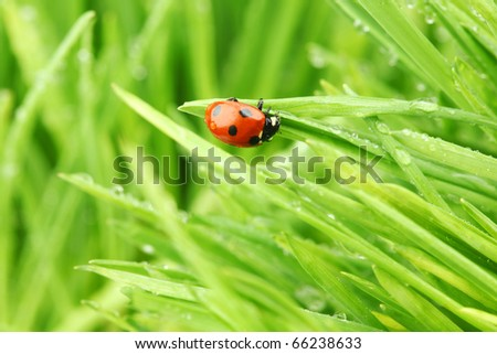 ladybug on grass in water drops - stock photo