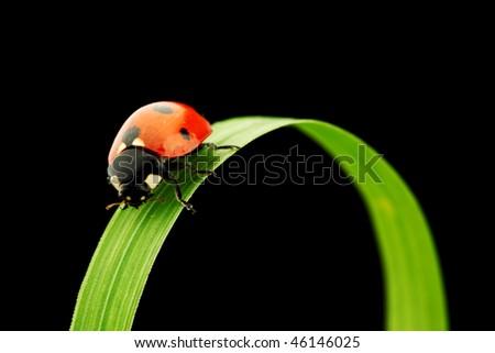 ladybug on grass isolated black - stock photo