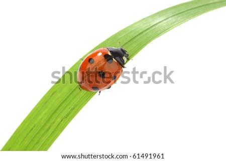 ladybug on grass isolated macro - stock photo