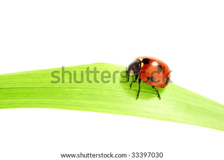 ladybug on grass isolated on white - stock photo