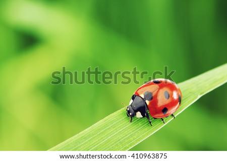 Ladybug on grass macro close up - stock photo