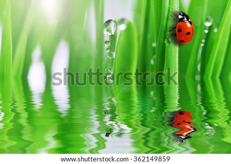 ladybug on grass reflecting in water - stock photo