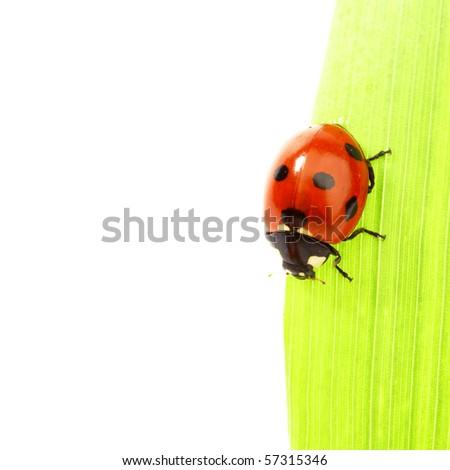 ladybug on green grass - stock photo