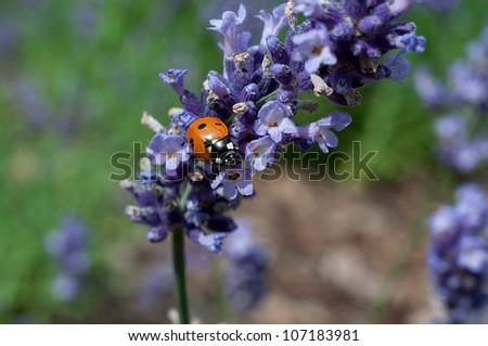 ladybug on lavender - stock photo
