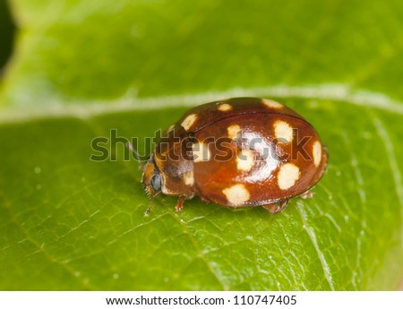 Ladybug on leaf, extreme close-up with high magnification