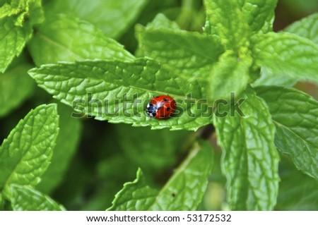 ladybug on leaf mint - stock photo