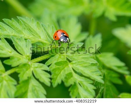 Ladybug, relaxing, nature, macro - stock photo