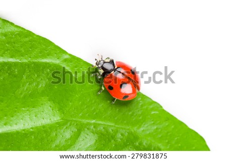 ladybug sitting on a green leaf. studio shot - stock photo