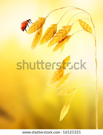 Ladybug sitting on a wheat herb - stock photo