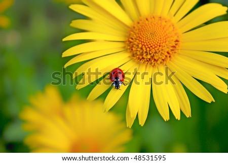 ladybug. Yellow flower - stock photo
