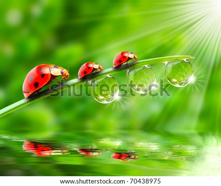 Ladybugs family on a dewy grass. Close up with shallow DOF. - stock photo