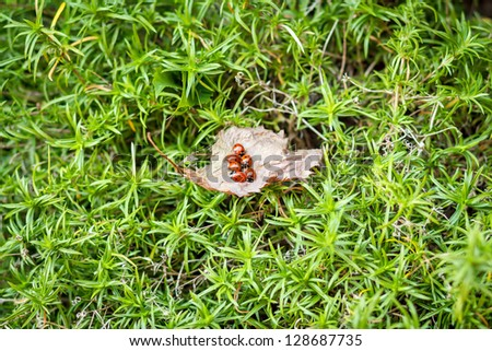 ladybugs on a dry leaf and green background - stock photo