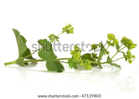 Ladys mantle herb in flower, isolated over white background. Alchemilla. - stock photo