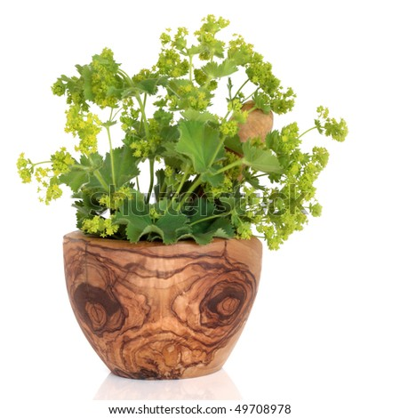 Ladys mantle herb with  flowers in an olive wood mortar with pestle, over white background. Alchemilla vulgaris. - stock photo