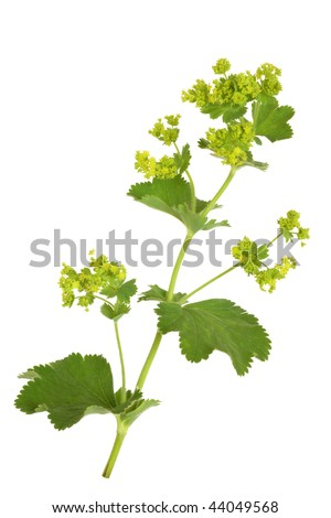 Ladys mantle herb with flowers, isolated over white background. Alchemilla mollis. - stock photo