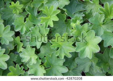 Ladys Mantle or Alchemilla  leaves closeup - stock photo
