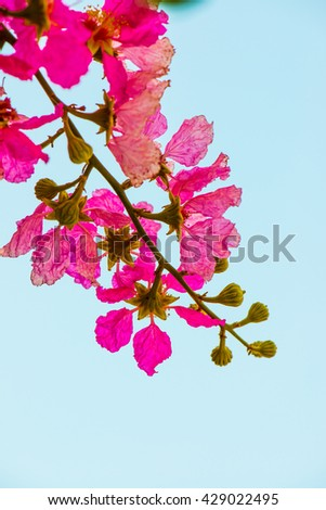 Lagerstroemia flowers with blue sky, Thailand