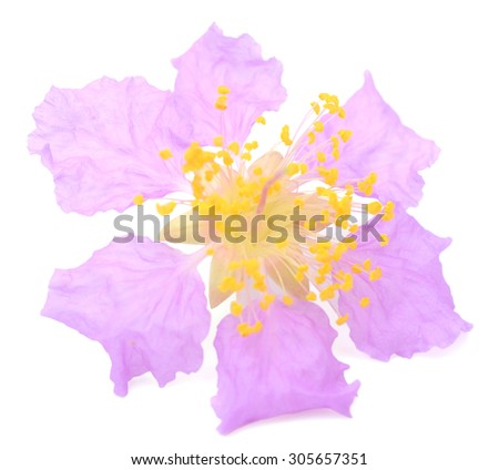 Lagerstroemia speciosa, Pride of India, Queen's flower on white background